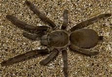 Tarantula Chart Australian Tarantula Spider Chart Venomous Or Dangerous