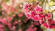 flower wallpaper photo wallpaper pink flowers flora macro hd 5k flowers 2560