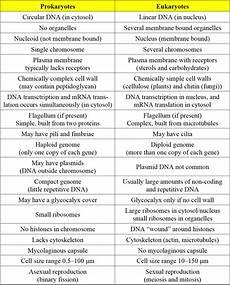 Difference Between Prokaryotic And Eukaryotic What Is The Difference Between Eukaryotic And Prokaryotic