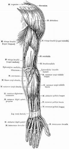 Posterior View Of The Superficial Muscles Of The Arm