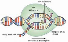 Transcription Biology Transcription Rna Synthesis Biology Socratic