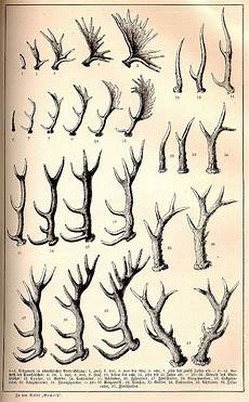 Deer Antler Age Chart How To Determine The Age Of Deer Elk And Moose By The