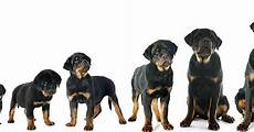 Rottweiler Growth Chart Use A Puppy Growth Chart To Determine Size Care Com