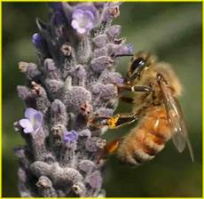 The Worker Honey Bee