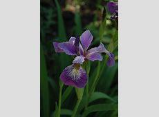 Blue Flag Iris (Iris versicolor) in Inver Grove Heights
