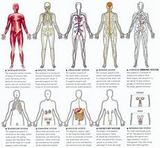 11 Body Systems Human Body Systems Know It All