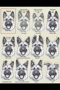 German Shepherd Ear Chart Gsd Ear Chart Neat German Shepherd Ears German