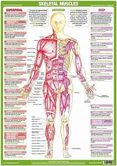 Full Body Anatomy Chart Muscle Anatomy Chart Anterior