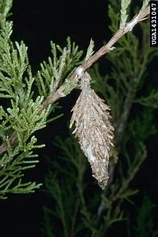 How To Treat Bagworms Bagworms