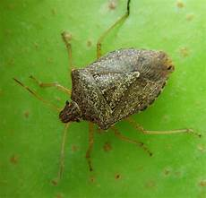 Brown Marmorated Stink Bug Faqs Brown Marmorated Stink Bug Nc State Extension