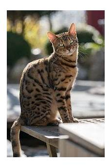 Bengal Cat Size Chart Why Are Bengal Cats So Expensive Price Chart Amp Guide