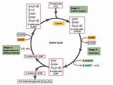 Does The Calvin Cycle Require Light Calvin Cycle Botany Studies