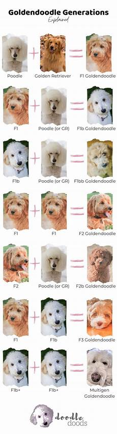 Goldendoodle Food Chart Goldendoodle Generations Infographic Doodle Doods