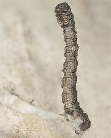 The Inchworm Intriguing Facts About Inchworms You Probably Didn T