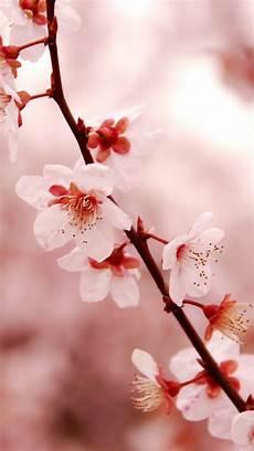 iphone wallpaper hd cherry blossom japanese cherry blossom iphone wallpapers top free