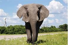 Malvorlage Afrikanischer Elefant Afrikanischer Elefant Hello Africa