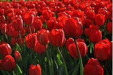 tulipani fiori tulipani cinquant anni di vita vanno festeggiati a dovere