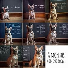 French Bulldog Growth Chart Batpig Amp Me Tumble It Starting To Look More Dog Than