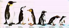 Types Of Penguins Chart Missmeguin All Things Penguin