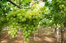 uva da tavola tendone taranto l uva da tavola 232 ancora d