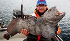stor fisk obbiens fiskeblogg godplassene leverer