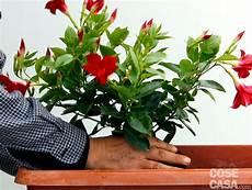 fiori da davanzale fiori da vaso estivi con sul davanzale una cassetta