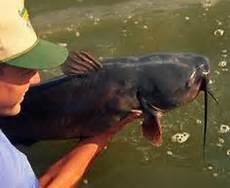 Flathead Catfish Length Weight Chart Flathead Catfish Weight Conversion Chart Fishing