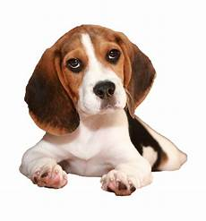 beds collars and accessories for beagles
