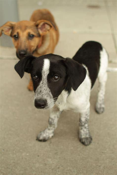 pointer mix puppies pointer beagle mix