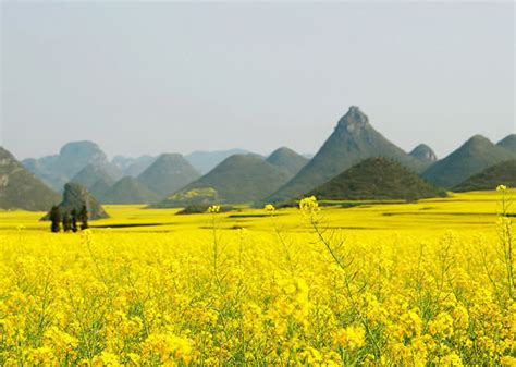 Minyak Canola canola flower fields china images