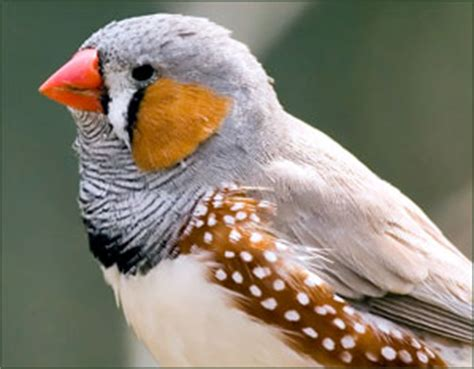 zebra finch housing zebra finch species profile