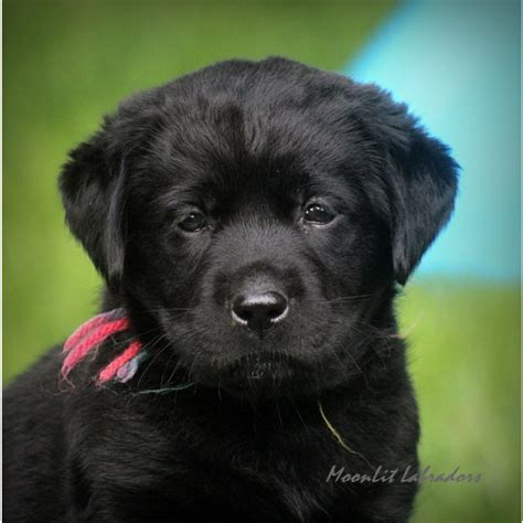 labrador retriever puppies for sale indiana puppies for sale labrador retriever labrador retrievers labradors labs f
