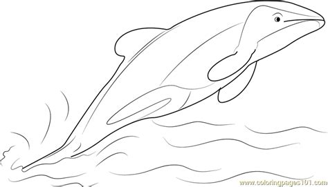 coloring pages dolphins jumping jumping hector dolphin coloring page free dolphin