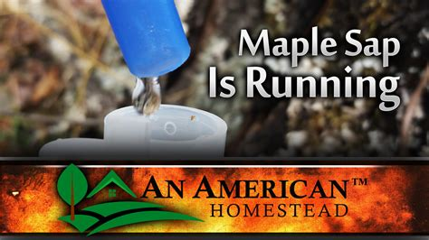 a run maple syrup s sweet journey books maple syrup sap is running modern homesteading