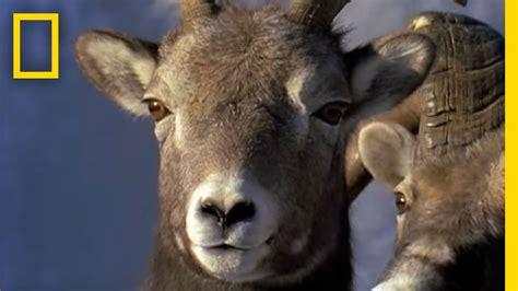 rams animal ram rumble animal winter