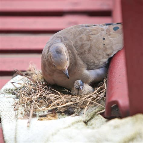 mourning dove nest feeding baby