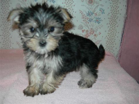 black morkie puppies morkie yorktese puppies for sale breed traits and characteristics