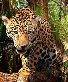 Are Jaguars Reliable Top Cat Of The Rainforest