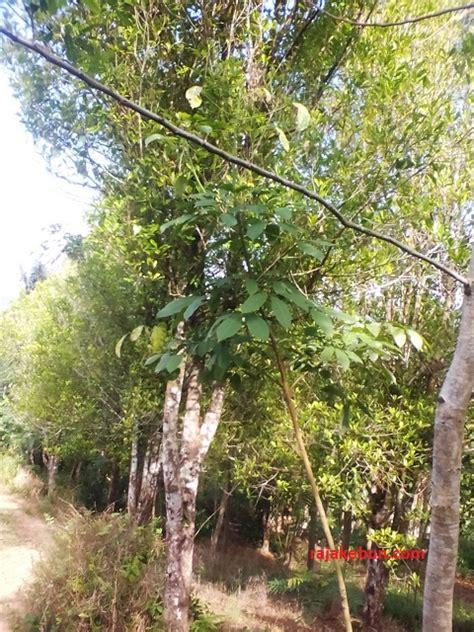 Jual Bibit Cengkeh Jawa Barat jual kebun cengkeh di garut kebun cengekeh dijual