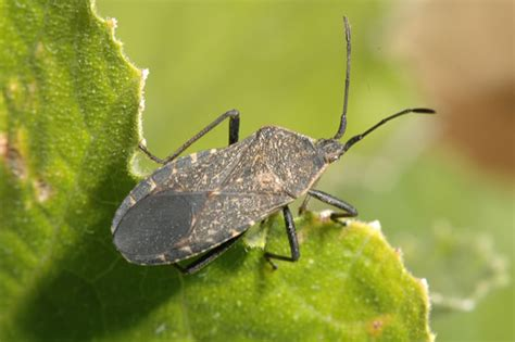 garden insect pests pictures squash bugs in home gardens insects of