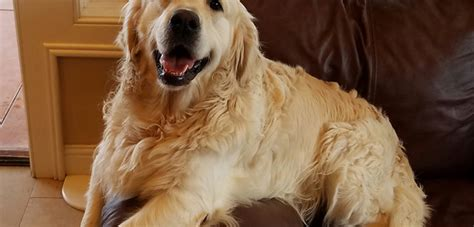 characteristics of golden retriever golden retriever personality photo