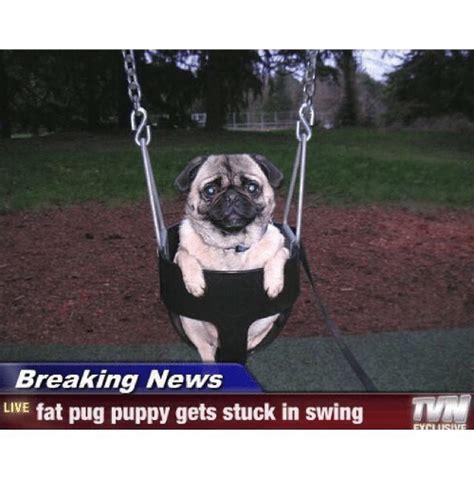 pug news breaking news live pug puppy gets stuck in swing anhrscheezeurger come exclusive