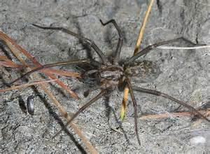 giant house spider oregon giant house spider eratigena atrica bugguide net