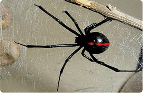 imagenes viudas negras el refugio las 10 especies m 225 s venenosas del mundo