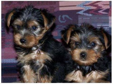 yorkies for free adorable yorkie puppies for free adoption breeds picture