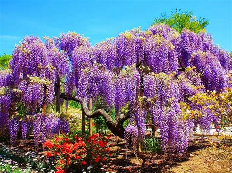 Wisteria In Japan by Mail2day 100 Years Old Beautiful Wisteria In Japan