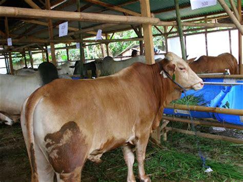 Jual Bibit Sapi Limosin Atau Simental anda saat ini butuh suplai kambing dan sapi qurban kami