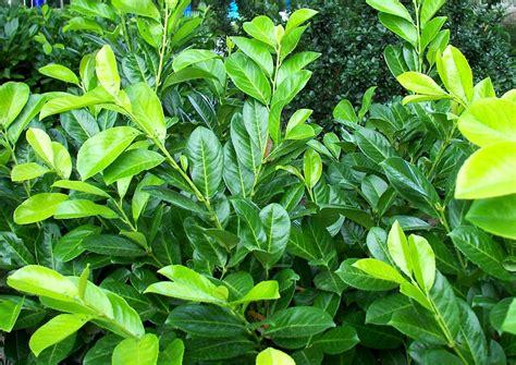 Kirschlorbeer Hecke Welche Sorte 2400 by Kirschlorbeer Pflanzen Pflegen Umpflanzen