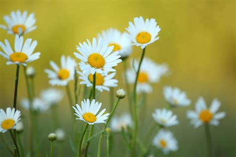 daisy facts facts about daisy flowers that will leave you amazed