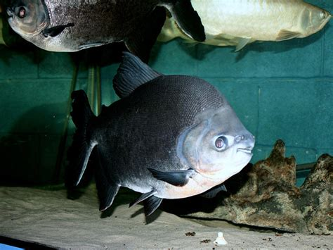black pacu colossoma macropomum fish tanks and ponds